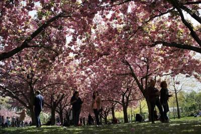 Festival Sakura Matsuri